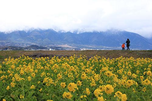 冬の滋賀県 新春の風物詩「第1なぎさ公園の菜の花」
