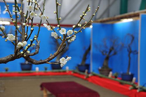 冬の滋賀県 米原冬の風物詩「鴨の里盆梅展」