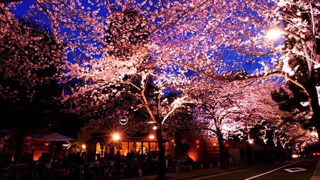 アークヒルズ 夜桜