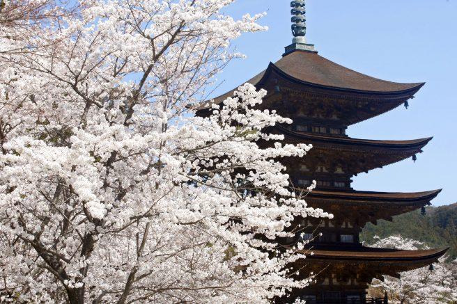 瑠璃光寺五重塔 桜