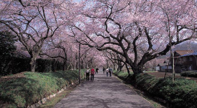 徳佐八幡宮 桜