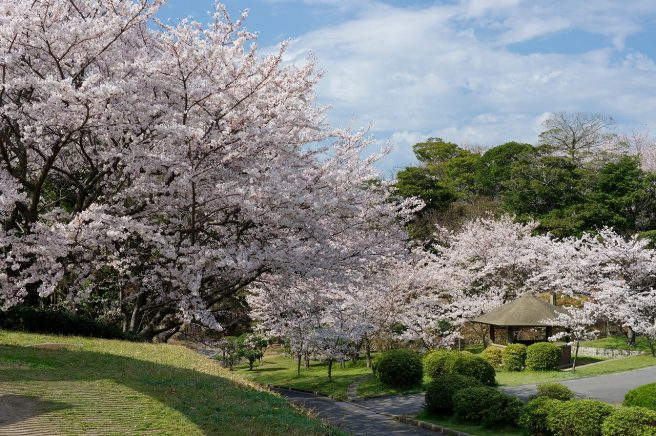 ときわ公園 桜