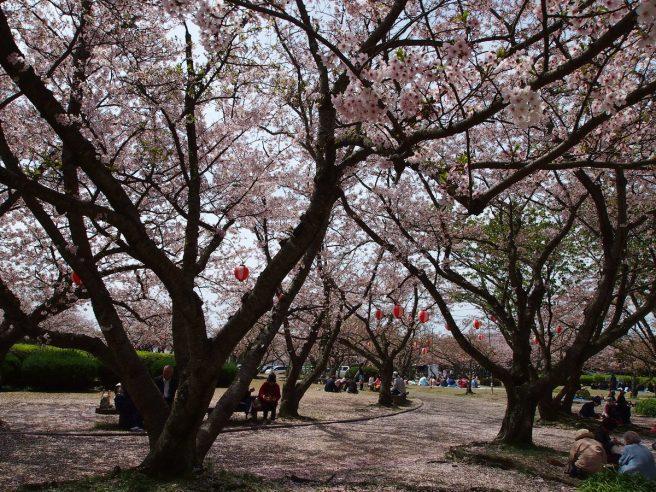 戦場ヶ原公園 桜