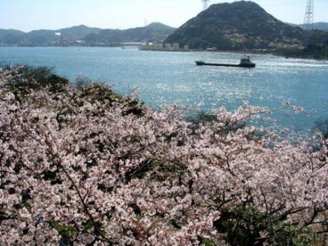 火の山公園 桜