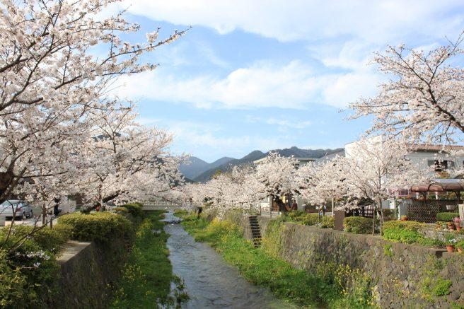 一の坂川 桜