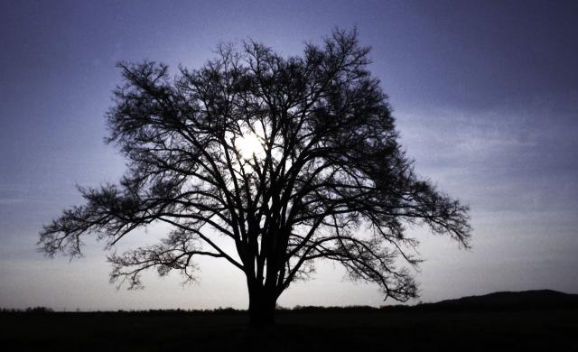 豊頃町の町のシンボルがハルニレの木