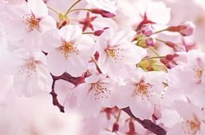 北海道の花見の名所を厳選!花見特集2019年版