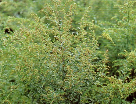 シラカバ花粉以外の道内の花粉症事情