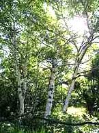 シラカバ花粉