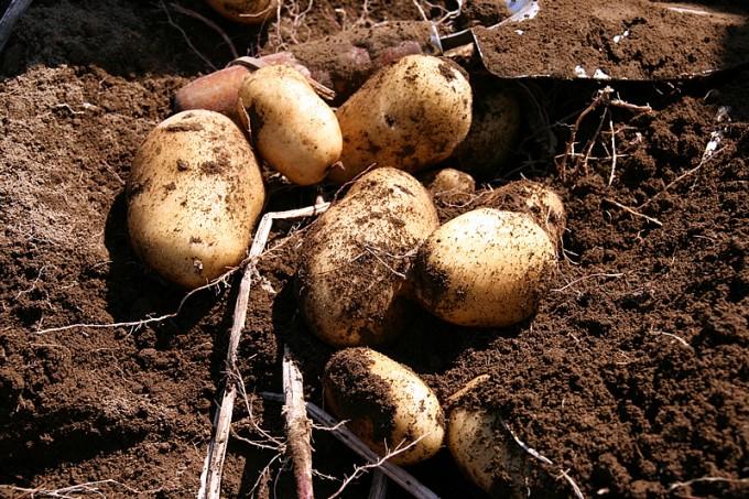 芋堀りはジャガイモ