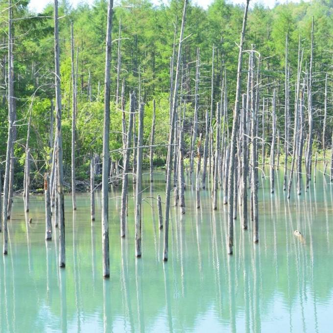 美瑛 観光名所 青い池
