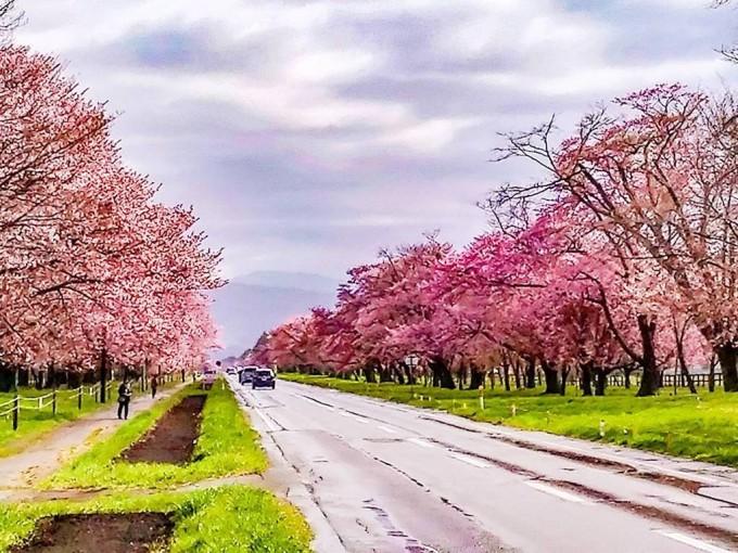 二十間道路の桜並木