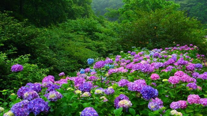 神戸市立森林植物園の紫陽花