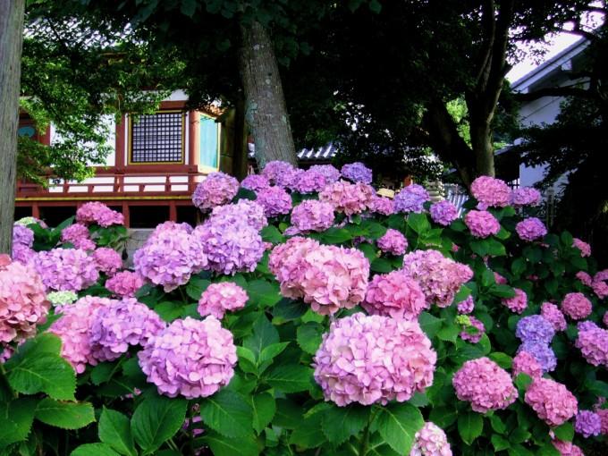 矢田寺(金剛山寺)の紫陽花