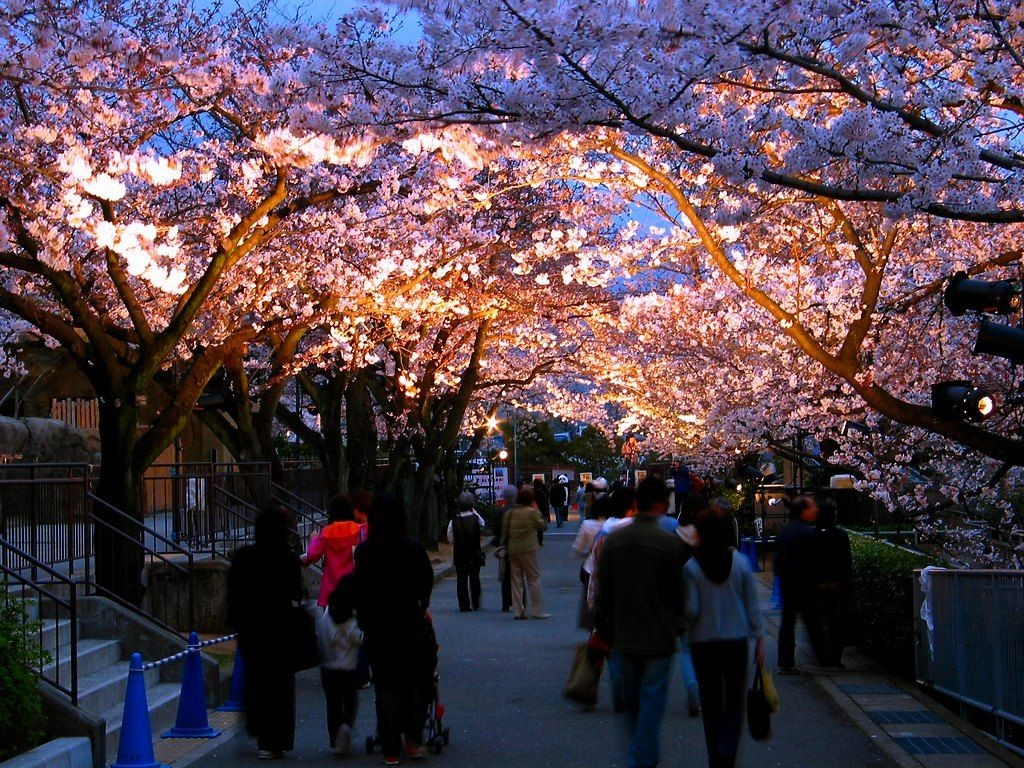王子動物園の桜