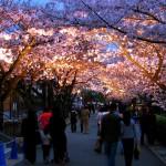 兵庫の桜の名所として有名なおすすめスポットを厳選