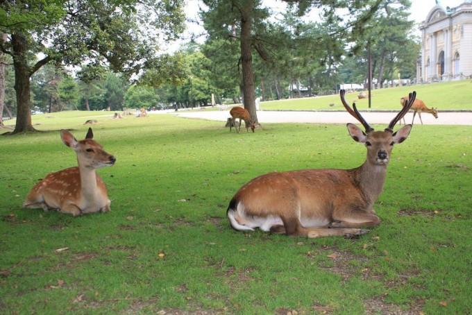 公園の中でたくさんの鹿と出会える