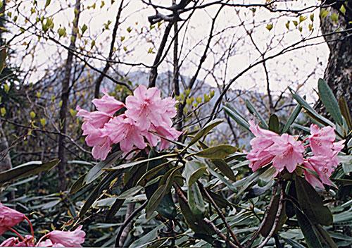 春の比良山系「金糞峠のシャクナゲ」/滋賀県大津市