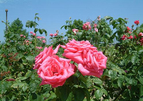 1200本のバラの競演「庄堺公園のバラ」/滋賀県彦根市