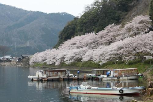 春の湖西エリアの名所「海津大崎の桜」/滋賀県高島市