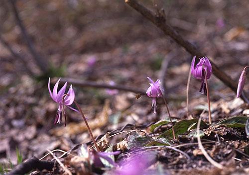 春の妖精が舞う「高島のかたくり群生地」/滋賀県高島市