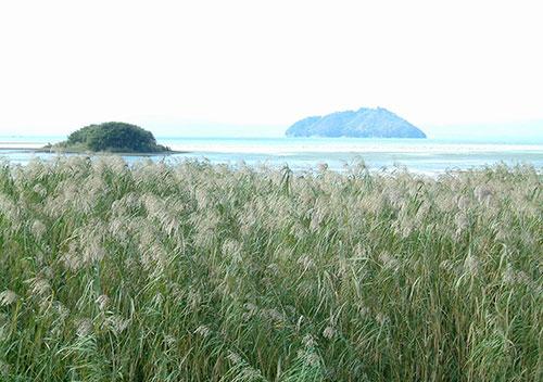 秋の滋賀県らしい景観「秋のヨシ原」/近江八幡市