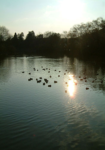冬の滋賀県 伊吹山の山麓に広がる「三島池の野鳥」