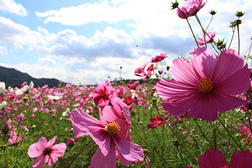 秋の滋賀県は花盛り「コスモス畑」/近江八幡市安土