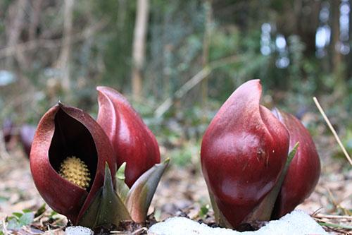 冬の滋賀県 高島の冬の風物詩「座禅草群落」