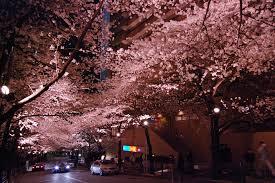 赤坂サカス 夜桜
