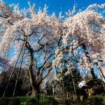 【お花見】原宿・表参道エリアの桜スポット5選