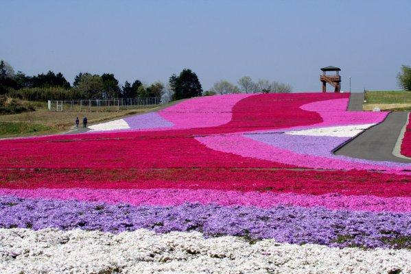 芳賀郡市貝町の芝桜