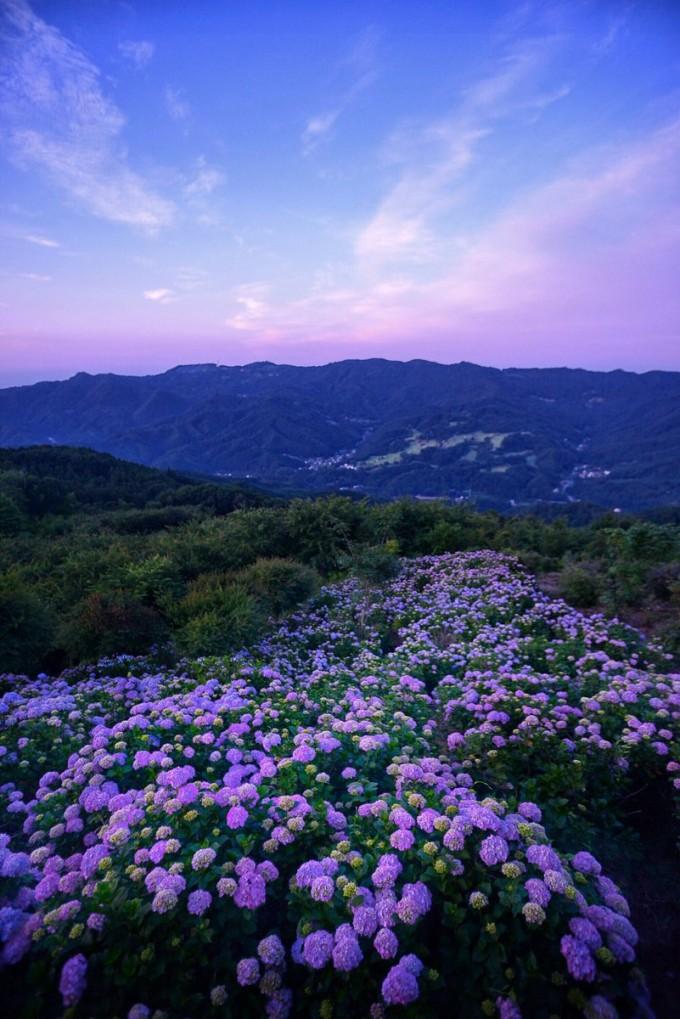 美の山公園 アジサイ