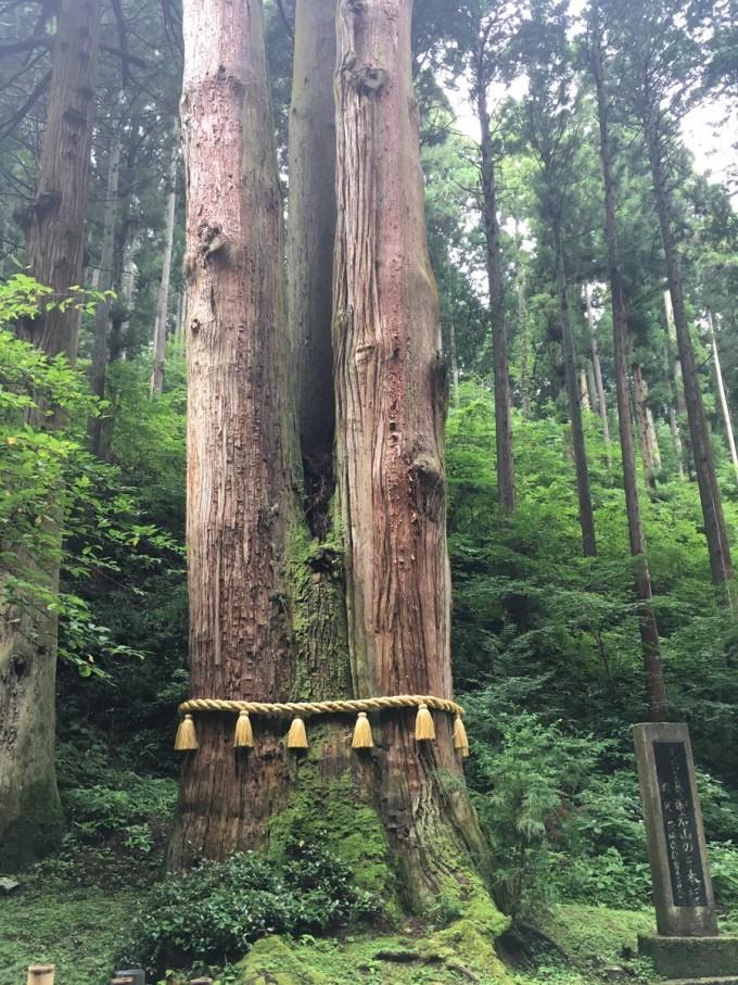 御岩神社 ご神木