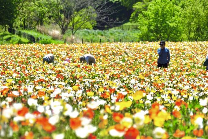 武蔵丘森林公園 ポピー