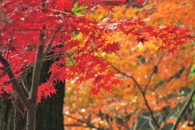 県立奥武蔵自然公園 紅葉