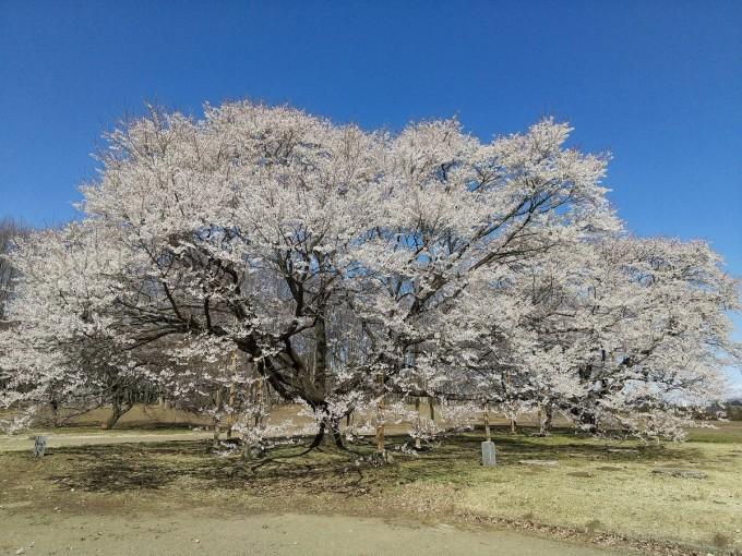 尼寺跡の淡墨桜