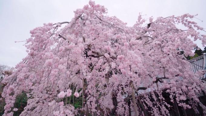 太山寺境内 桜
