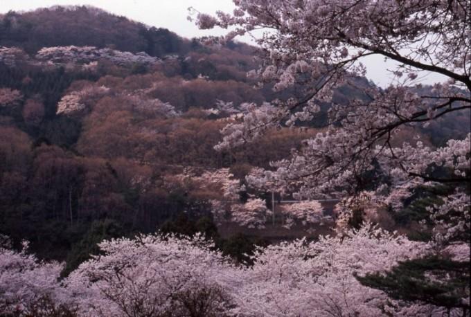 太平山県立自然公園 桜