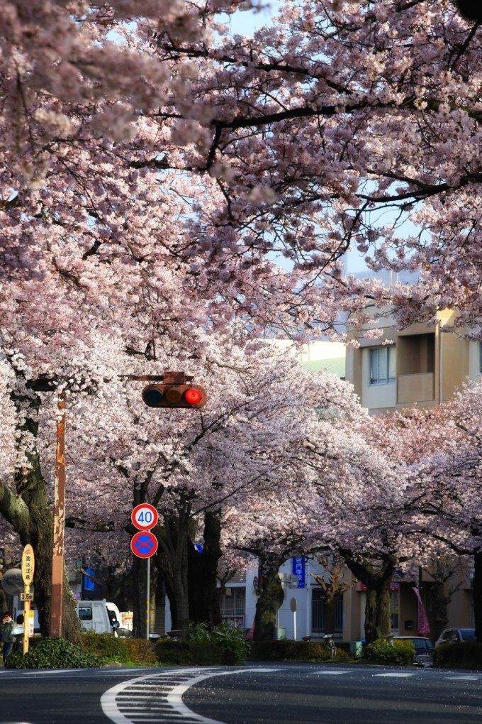 平和通り 桜