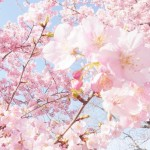 栃木県でおすすめのお花見スポット
