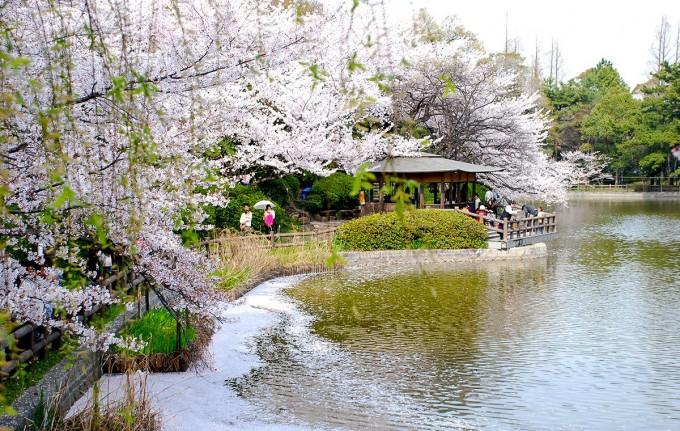 亀城公園 桜