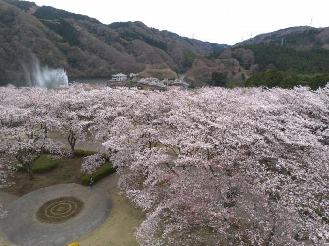 十王パノラマ公園 桜