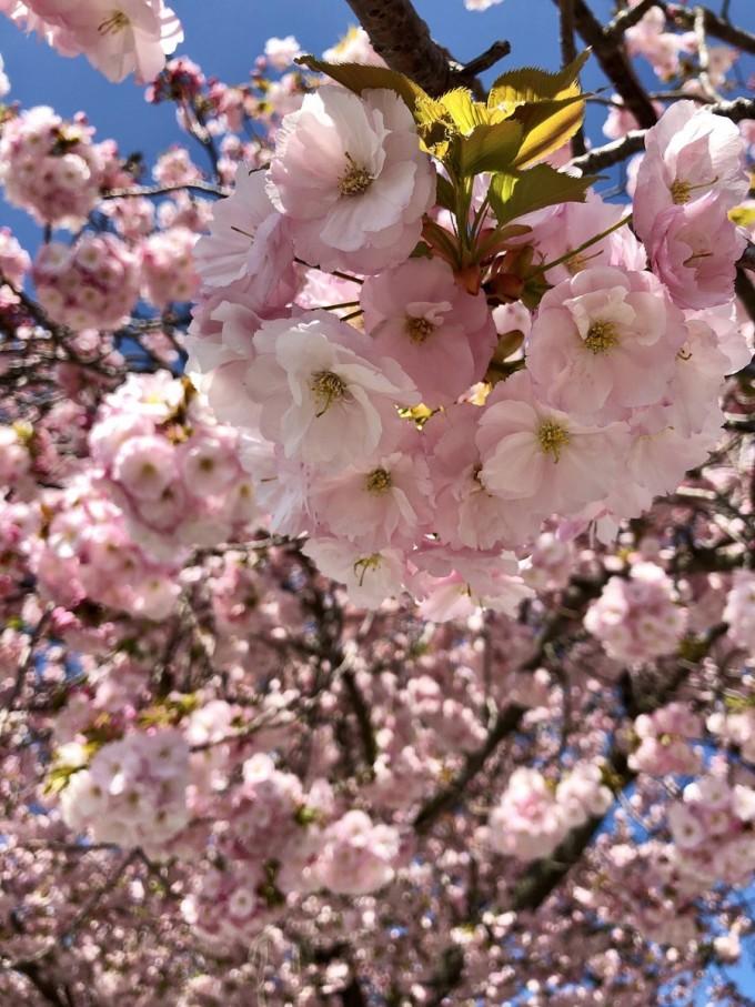 かみね公園 桜