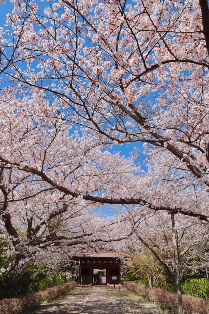 西蓮寺 行方市 桜