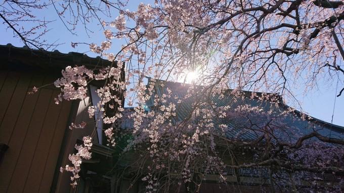 般若院  枝垂れ桜 茨城