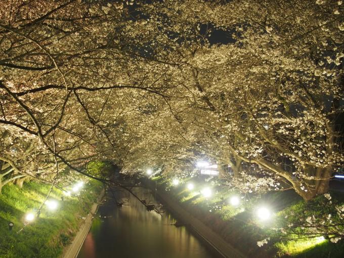 栃木県 桜 ライトアップ