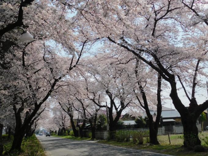 烏ヶ森公園 桜