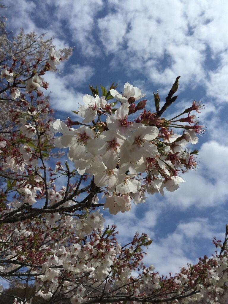 芳賀 冨士山自然公園 桜