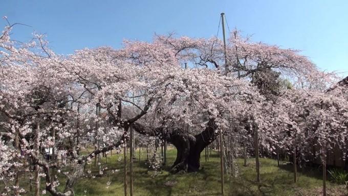 般若院 桜